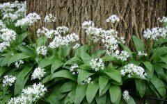 Wild Garlic / Allium ursinum