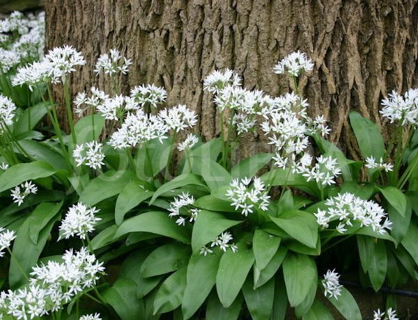 Wild Garlic / Allium ursinum